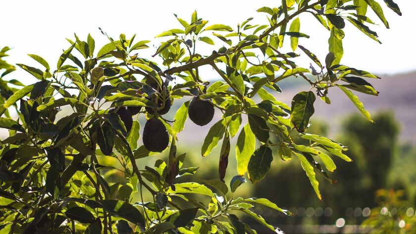 SAN JUAN CAPISTRANO, CA - JUNE 25, 2014: Mature avocados hang from the tree at Rancho Mission Viejo