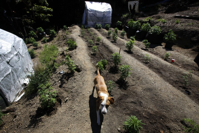A dog patrols marijuana plants growing in Shelter Cove in Humboldt County, the center of California's marijuana outback.