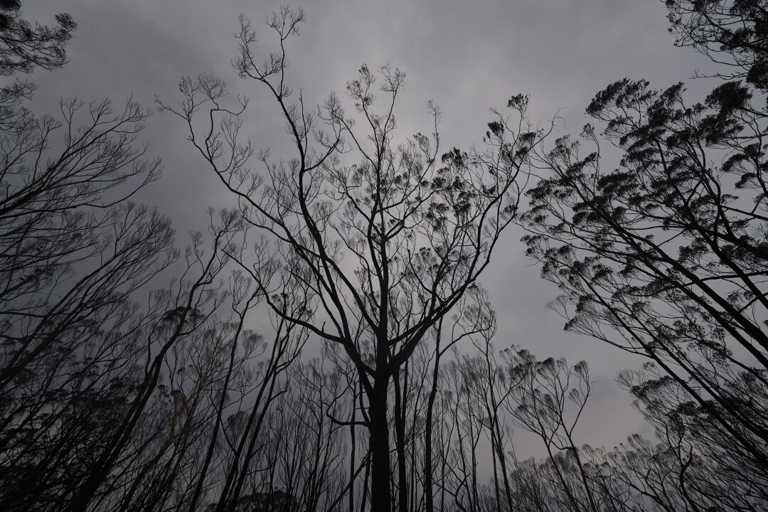 Burned trees in Wingello State Forest in Wingello, Australia.