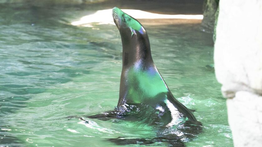 One of two partially blind sea lions at the Audubon Zoo in New Orleans.
