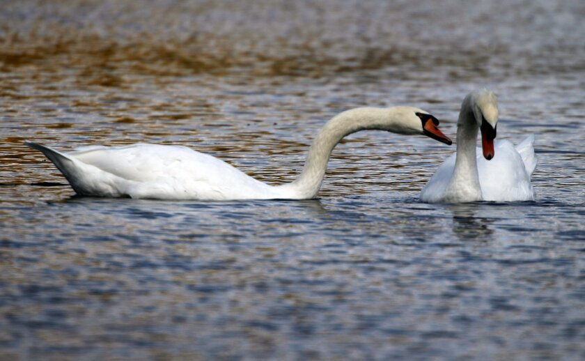 FILE - In a Oct. 6, 2012 file photo, two mute swans swim along a pond in Zelienople, Pa. Months after Connecticut environmental officials killed a swan they determined to be aggressive, Connecticut is taking steps to better inform the public about nesting sites so people can avoid coming in contact