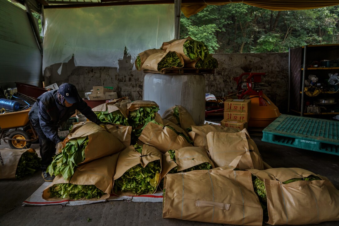 Natawat Tongratoke, a Thai migrant worker in South Korea, stacks bales of tobacco leaves harvested from the fields.