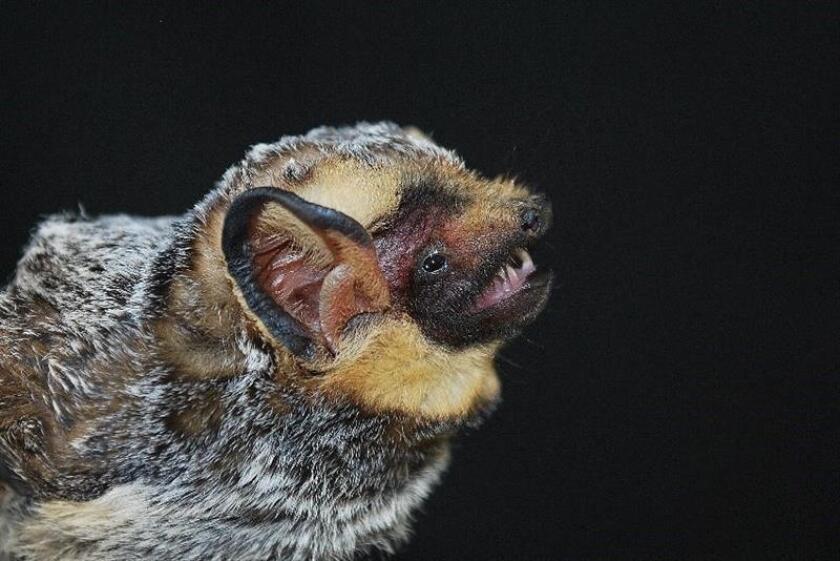 Fotografía cedida hoy, miércoles 14 de febrero de 2018, por la Universidad Autónoma de Baja California (UABC) de un murciélago de la especie cola peluda canoso del estado de Baja California (México). EFE/Aldo A. Guevara Carrizales/Cortesía UABC/SOLO USO EDITORIAL