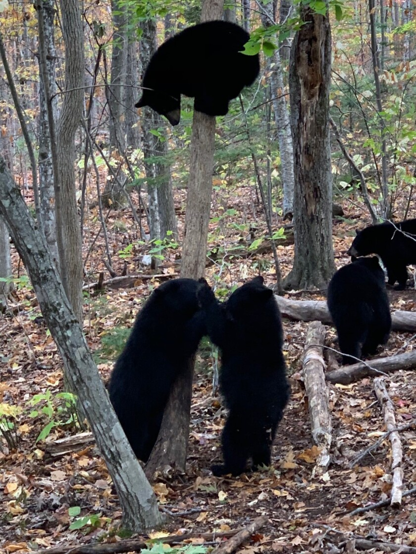Black bear cubs interact at the Kilham Bear Center in Lyme, New Hampshire