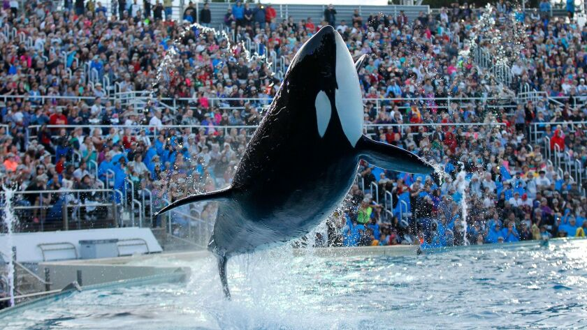 An orca performs during the final Shamu show, One Ocean at Sea World San Diego on Sunday.