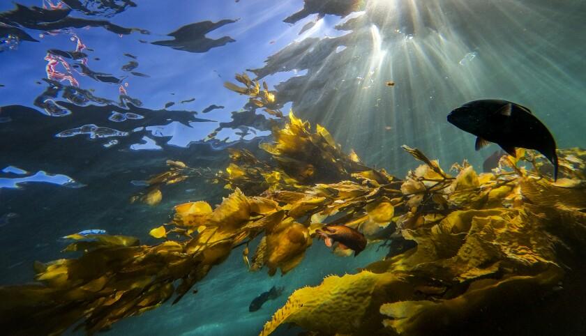 Fish and kelp off Catalina
