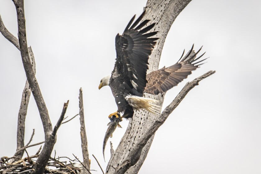 A bald eagle brings in a trout to a nesting site.