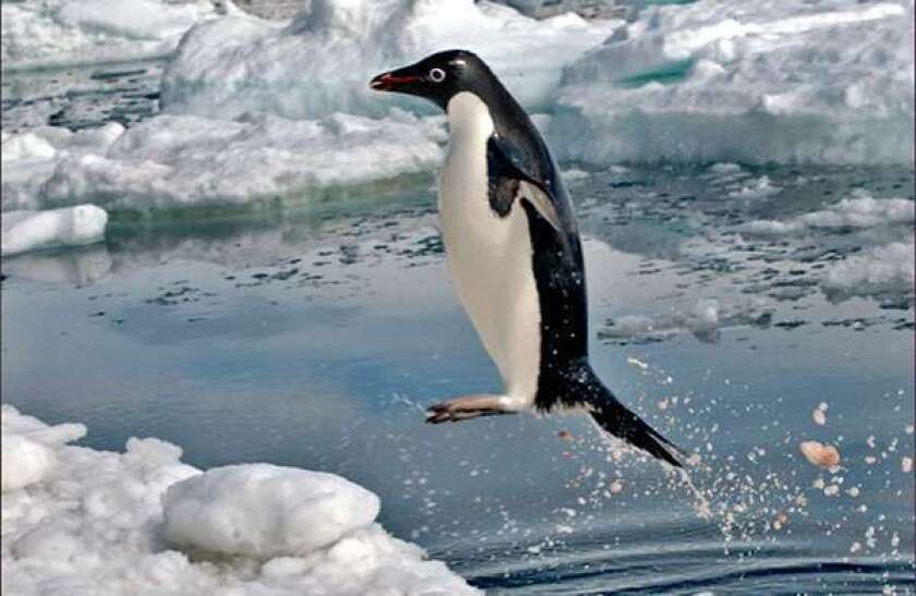 Foraging penguins are real krill killers, underwater cameras show