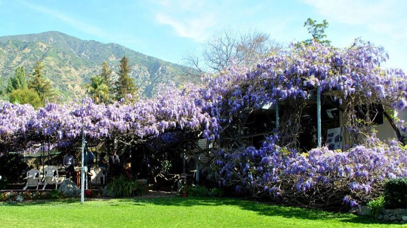 Your Once A Year Shot To See A Freakishly Large Wisteria Vine