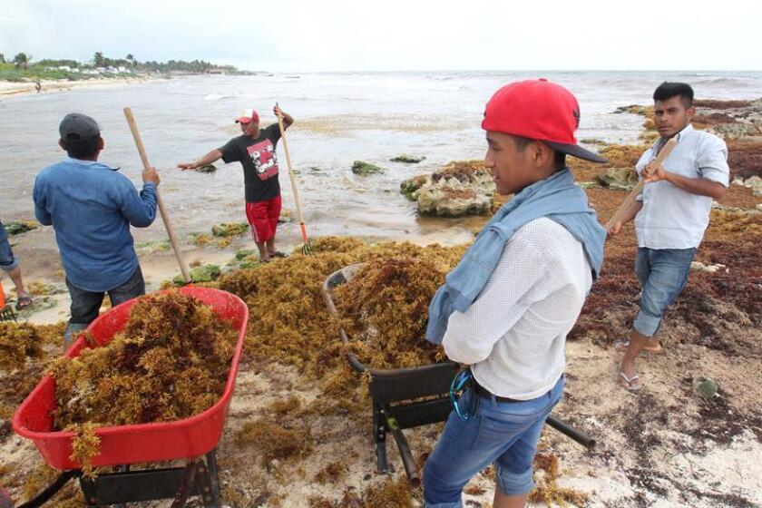 Varios pescadores sacan sargazo de una playa hoy, miércoles 8 de agosto de 2018, en Tulum, en el estado de Quintana Roo (México). EFE