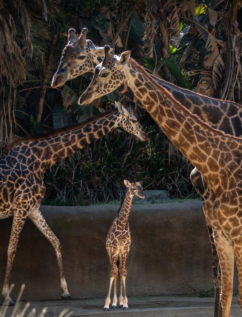 Baby giraffe born 2019 at L.A. Zoo