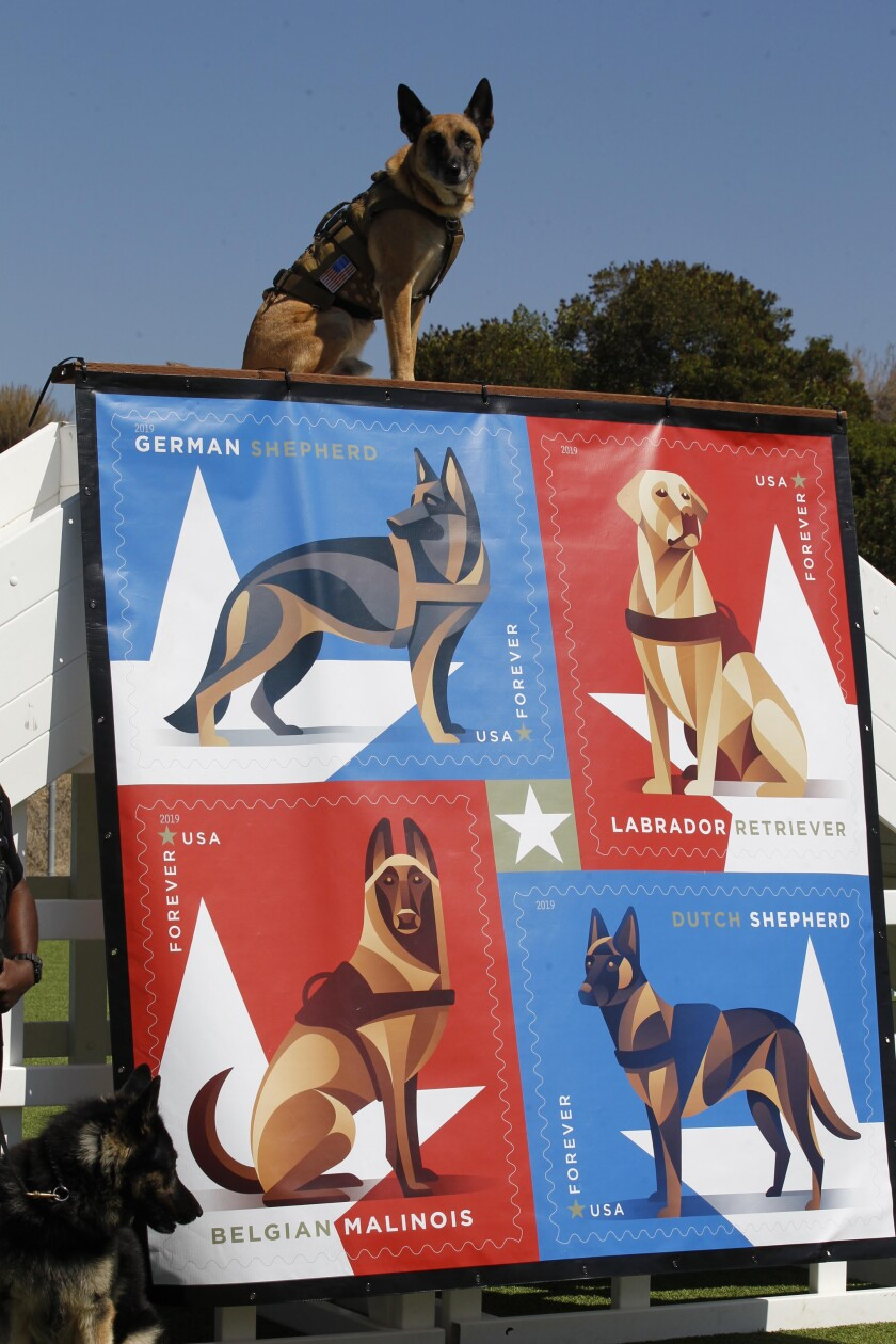 "The USPS unveiled a new series of forever stamps honoring military working dogs on Friday, August 30, 2019 at Camp Pendleton in Oceanside. Retired working dog ""Diezel"" {cq} posed atop the dedication display so his owner, Staff Sgt. Sonny Fernandez, who is the bases Chief trainer, could take his photo."