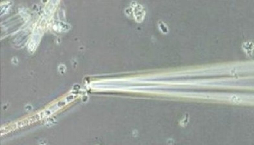 Microscope image of a glass capillary being used to capture a single bacterial cell during micromanipulation.