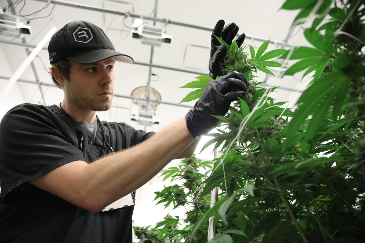 Roger Henrichs inspects the cannabis in the flowering room at Revolution Enterprise's medical cannabis cultivation facility in Delavan, Ill., on Dec. 12, 2017.