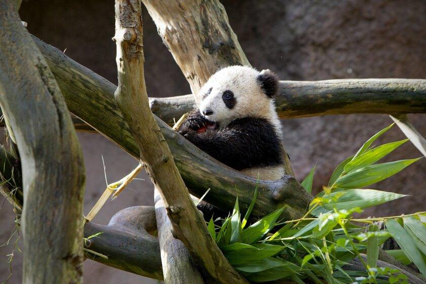 San Diego Zoo's newest Panda cub, Xiao Liwu.