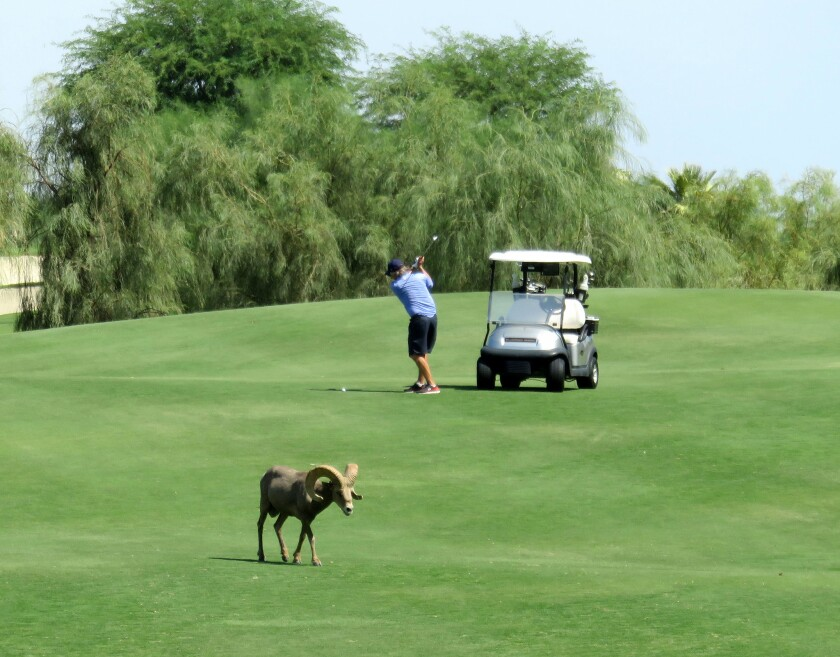 A federally endangered Peninsular bighorn ram on the SilverRock golf courses in La Quinta.