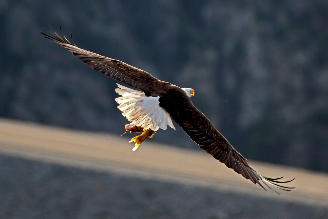 Adult bald eagle flying