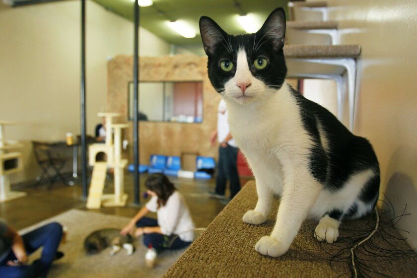 A cat named Janis looks around the recently opened Cat Cafe in downtown San Diego. The coffee shop has a neighboring room where customers can interact with cats that are available for adoption through the San Diego Humane Society. Janis was adopted shortly after this photo was taken.
