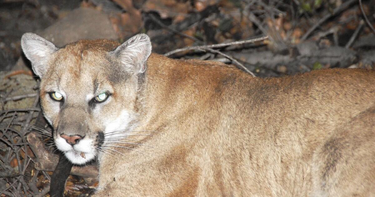 Οι κρατικοί υπάλληλοι προσήλωση στην επιπλέον προστασία για τη Νότια Καλιφόρνια λιοντάρια