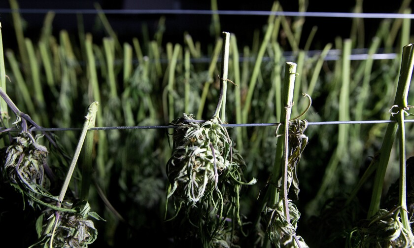 FILE - In this Oct. 12, 2016, file photo, recently harvested marijuana buds dry at a farm near Garberville, Calif. The largest wildfire in California history is threatening the country's largest cannabis-growing region, and authorities are warning people in the area to protect themselves if it comes time to evacuate, not their crops. The August Complex Fire has burned through more than 1,100 square miles (2,850 square kilometers) across five counties in Northern California and is on a westward path that threatens the rugged and famed Emerald Triangle, known for its marijuana farms, The Press Democrat reported. (AP Photo/Rich Pedroncelli, File)