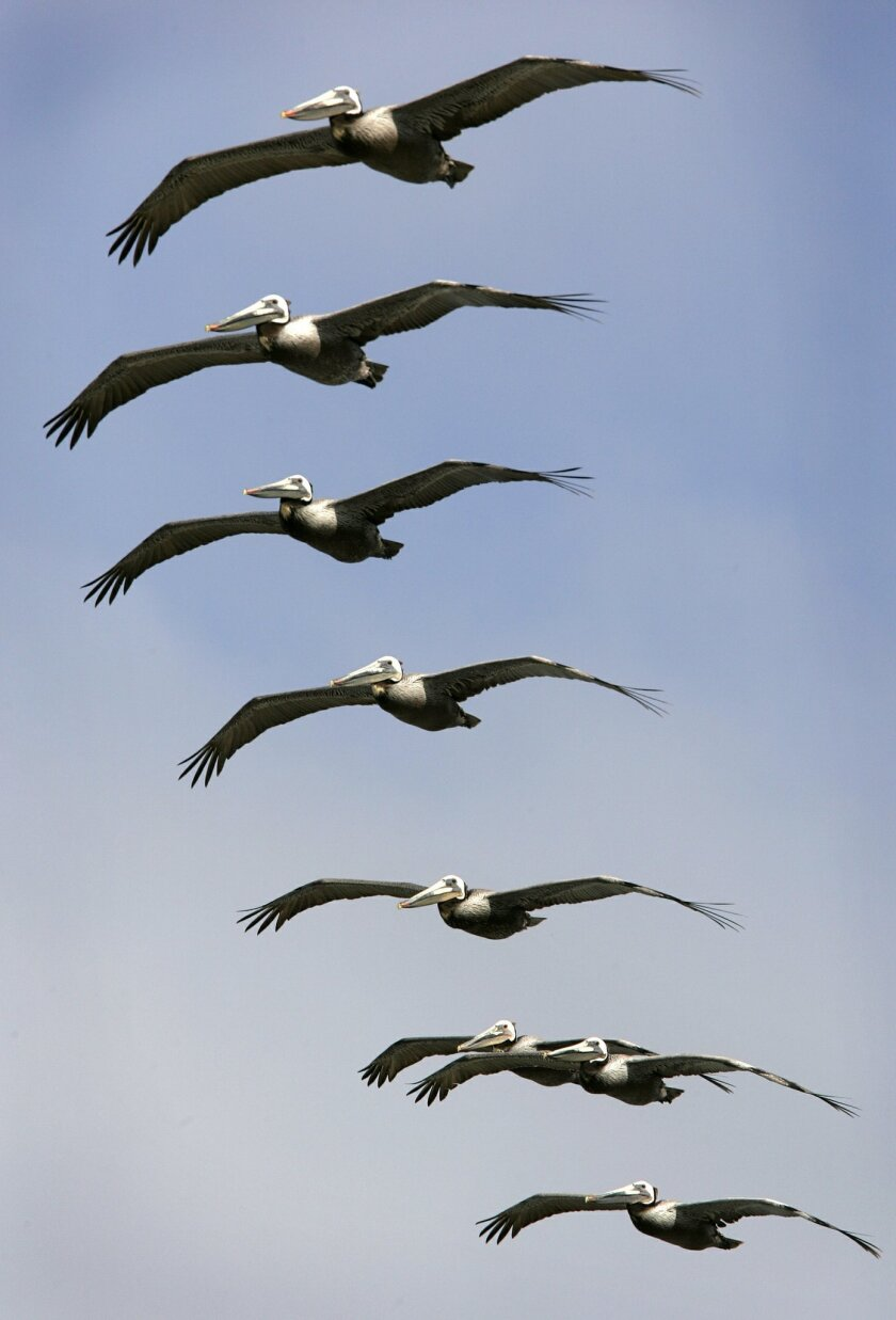 A flock of pelicans flies above Torrey Pines State Beach. / Photo by HOWARD LIPIN / U-T