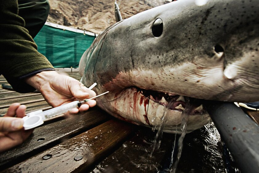 Michael Domeier acquires blood samples from a great white shark to test hormone levels and study breeding patterns. The gray hydration hose keeps water flowing to prevent suffocation. Chris Ross/Chris Fischer photos