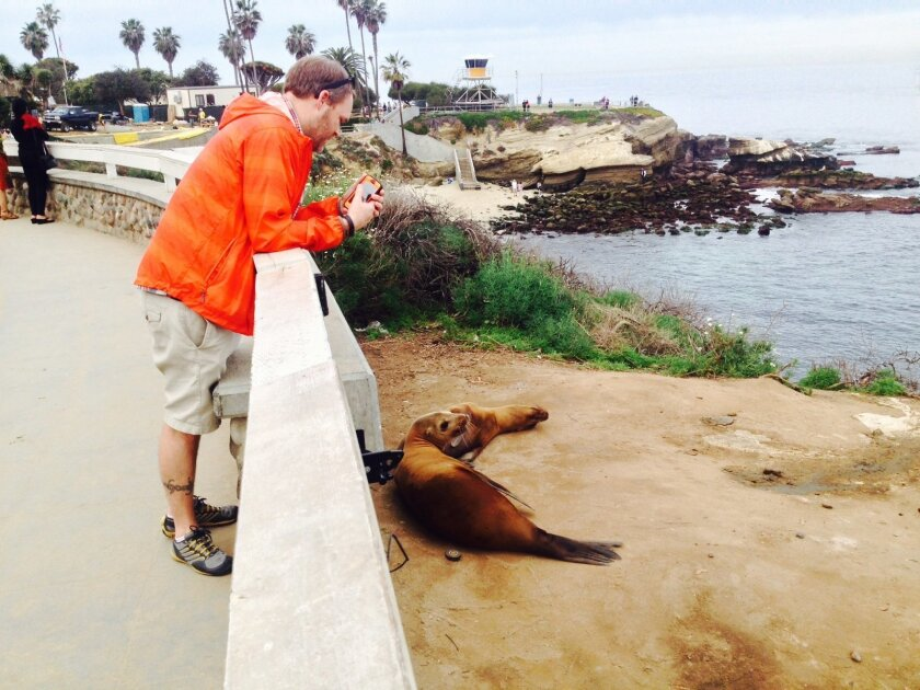 Numerous sea lions at La Jolla Cove were looking lethargic and underweight last week, with a few laying close to the gate where people access the bluffs. Pat Sherman