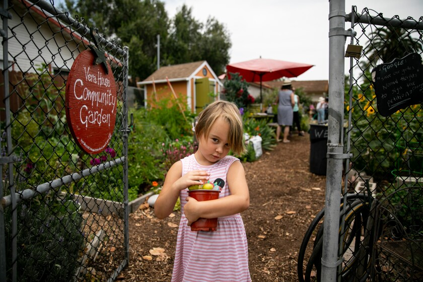 Amara Featherston, 5, carries a bucket of apricots from her family's tree at Vera House Community Garden in Normal Heights