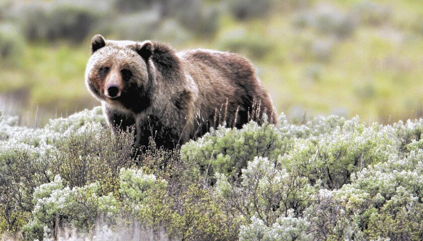 A grizzly bear in Yellowstone National Park. An effort is underway to reintroduce the bear to California. Some experts say the state has too many people to share the land with the bears.