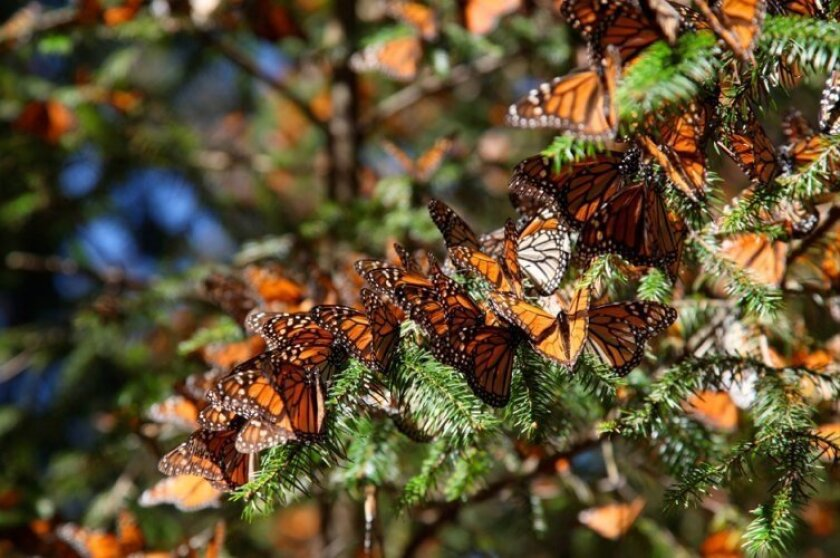 """""""Flight of the Butterflies"""" opens Saturday at the IMAX theater of Tijuana's Cultural Center."""