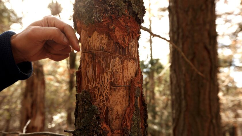 Ecologist Adrian Das, looks over the paths of bark beetles that led to the death of a white fir tree in a plot of land that ecologists have been studying since 1992.