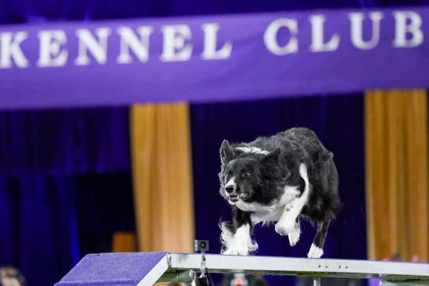 Verb, a border collie, competes during the finals of the agility competition at the Westminster Kennel Club dog show in Tarrytown, N.Y., Friday, June 11, 2021. Verb has zoomed and not the virtual way to a second-time win in the Westminster Kennel Club dog show's agility contest. Verb and handler Perry DeWitt of Wyncote, Pennsylvania, also won the title in 2019. (AP Photo/Mary Altaffer)