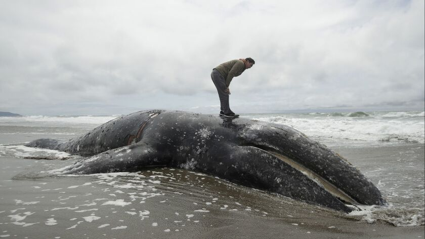 Duat Mai stands atop a dead whale at Ocean Beach in San Francisco, Monday, May 6, 2019. (AP Photo/Je