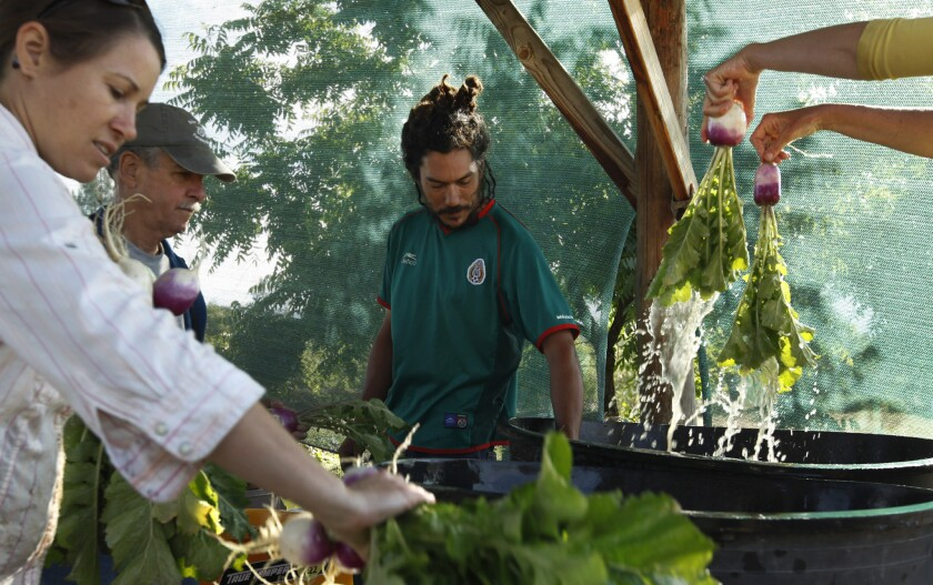 Farmer Chris Velez, center, and his wife, Jamie Carr, left, wash produce just harvested at Stella Luna Farm in Auberry, Calif. Also shown is volunteer Tyler Wright, second from left.