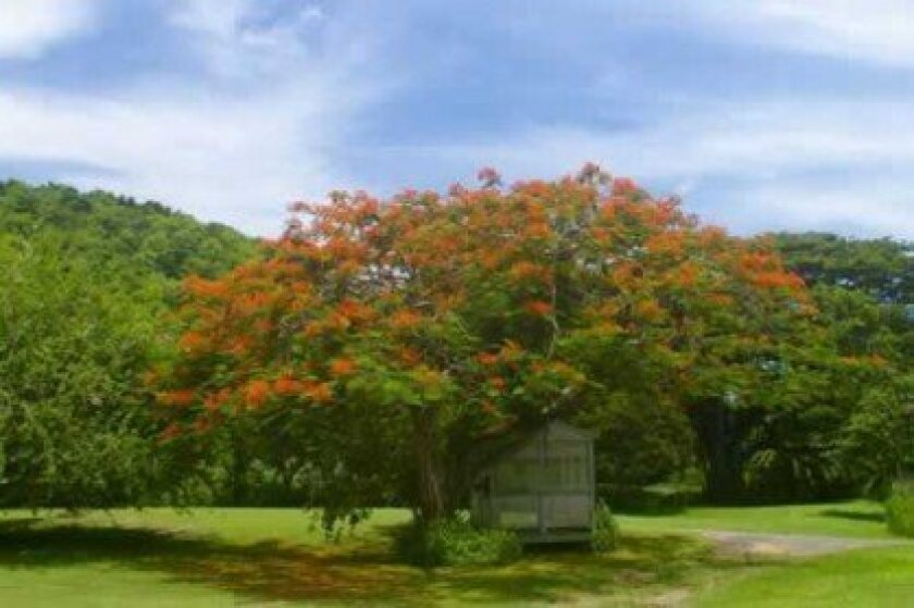 A flamboyant tree in bloom with its umbrella-like canopy.   Kelly Stewart photos