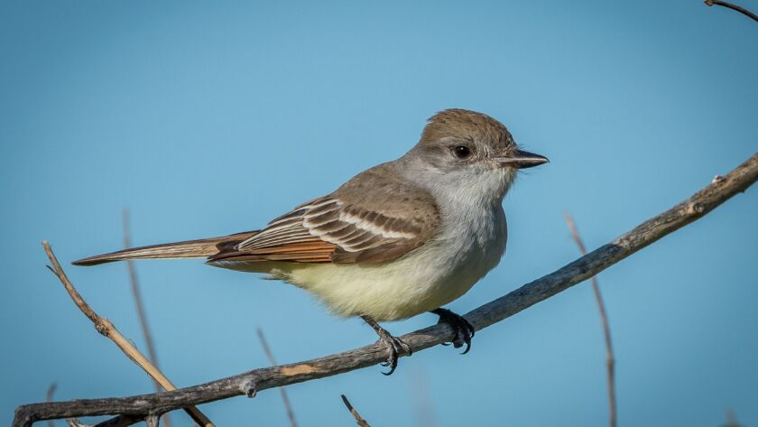 The ash-throated flycatcher is a common summer visitor to San Diego,