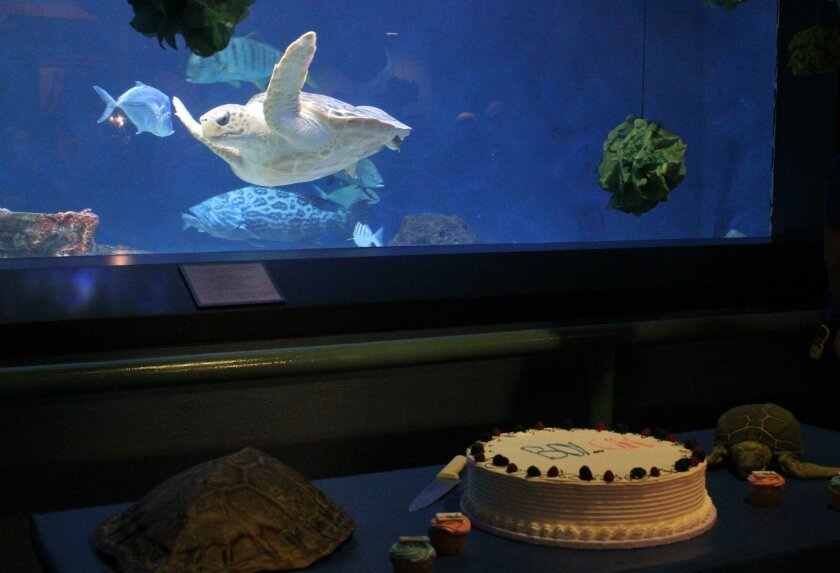 """The rescued loggerhead sea turtle that Birch Aquarium has had for about a year has been found to be female, as confirmed by hormone tests. Birch Aquarium revealed the gender Nov. 19 with a cake-cutting """"gender reveal"""" party."""