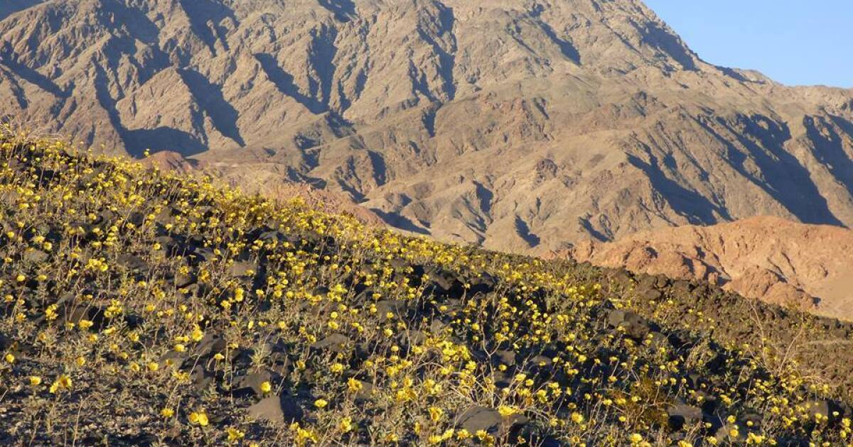Wildflowers already popping at Death Valley in what may be epic El Niño season