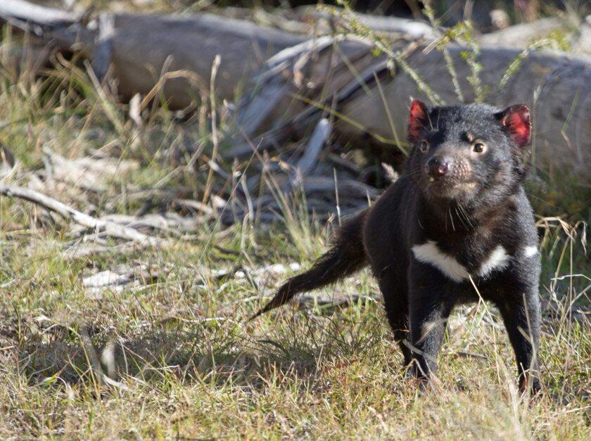 Tasmanian devils and cancer