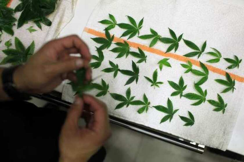 Marijuana leaves are laid out in preparation for one of several courses.