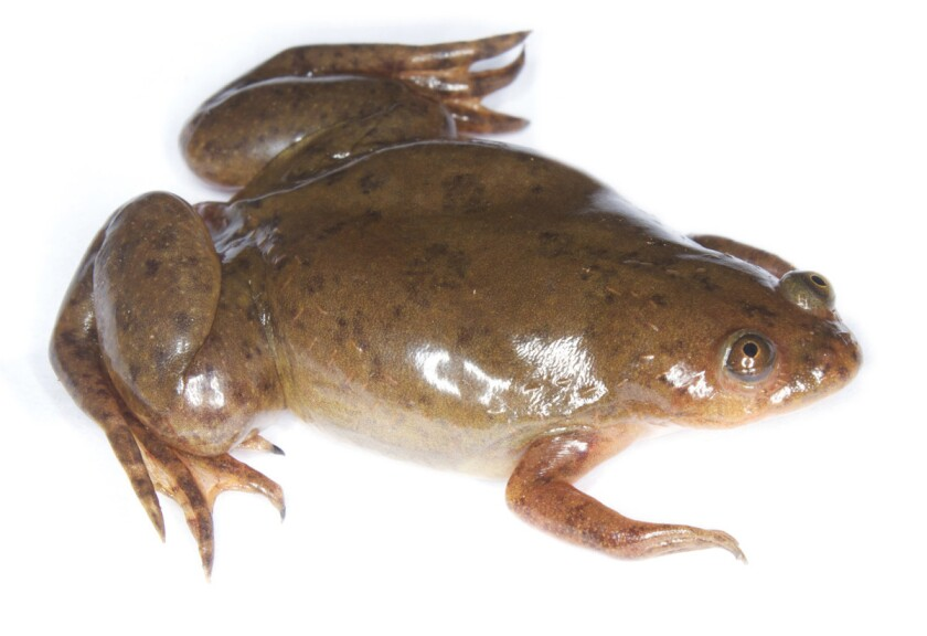 Researchers have identified a deadly fungus in California populations of the African clawed frog. The pathogen causes a skin disease that is believed to be driving the extinction of entire species of amphibians worldwide.