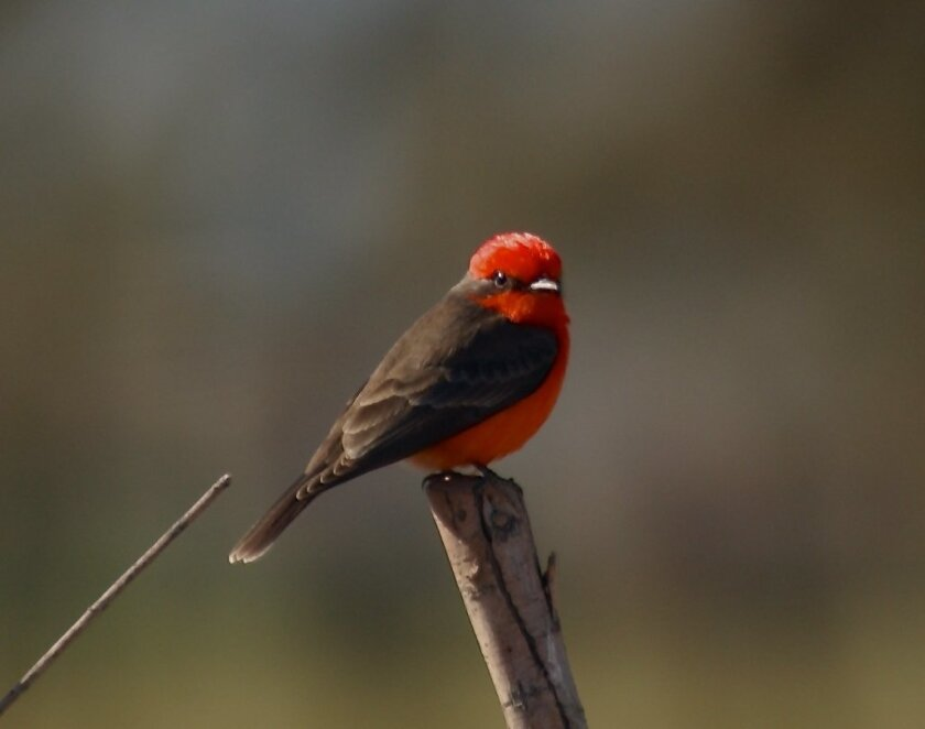 A Vermillion Flycatcher in the Colorado River Delta in Baja California, near a restoration area known as Laguna Grande. The species loves open-water areas, and has benefited from water deliveries to the area aimed at restoring wildlife habitats in the region.