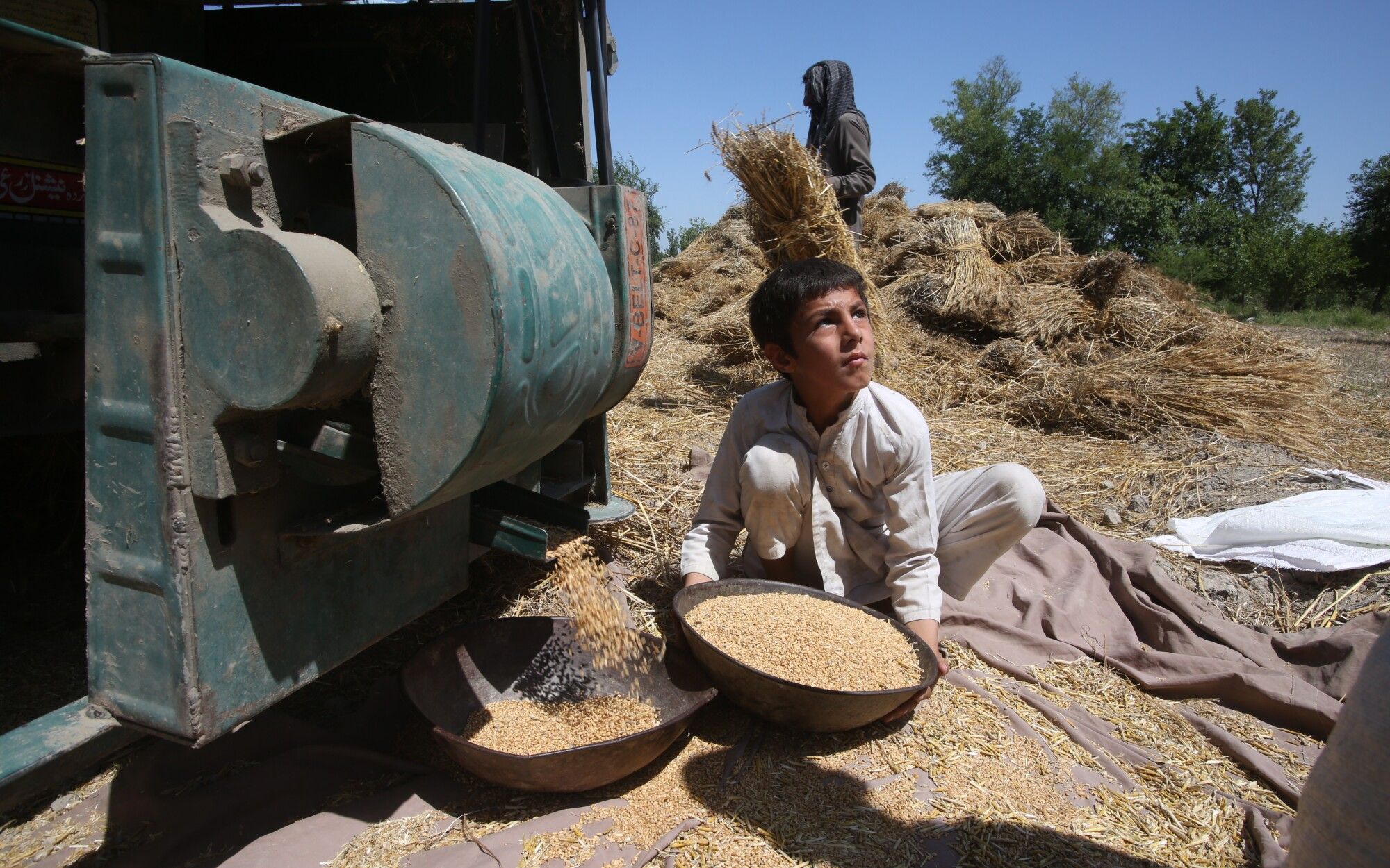A boy collects wheat from a thresher in Peshawar, Pakistan, in May 2020.