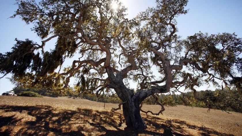 An oak tree on a ranch near Cambria, Calif., in 2014.