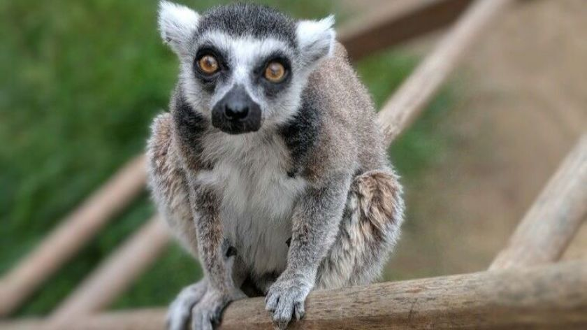 Isaac, a 32-year-old lemur who has been at the Santa Ana Zoo since 2000, was stolen last summer but was found safely and returned.