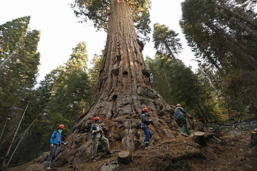 The 3,000-year-old Stagg Tree, the privately owned Alder Creek grove, that was spared in the 2020 Glass fire.