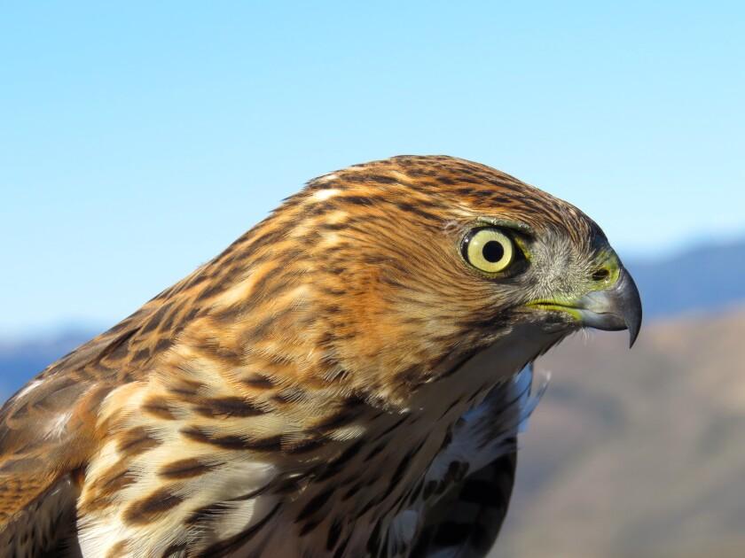 A sharp-shinned hawk