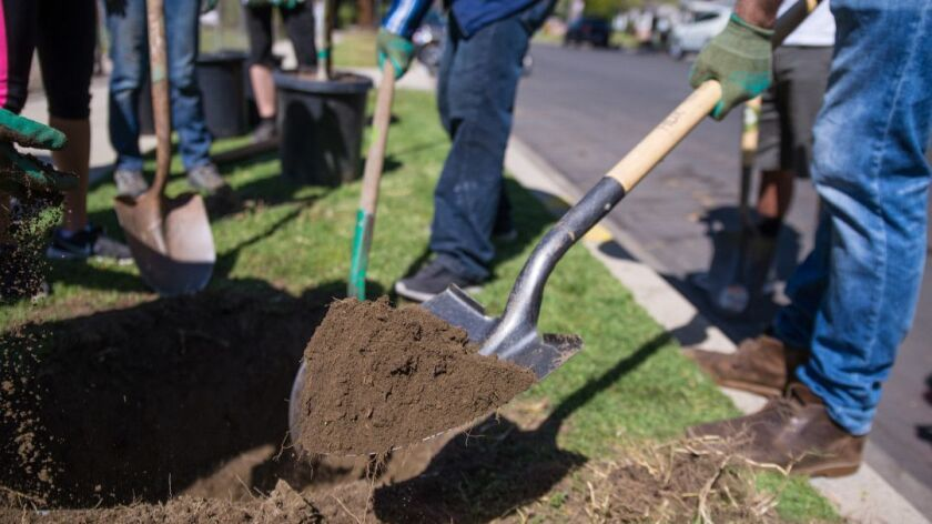 VAN NUYS, CA-- A volunteer digging a hole for a tree to be planted in.