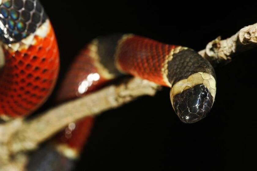 Serpiente venenosa de coral muerde a estudiante en una mano en Florida