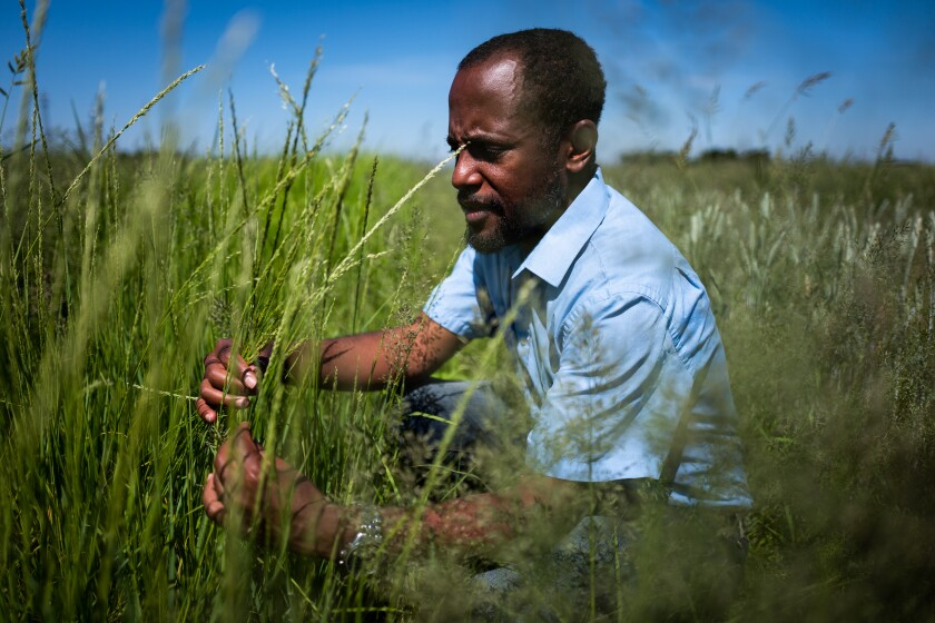 UC Davis researcher Gizaw Wolde inspects a test crop of the Ethiopian grain teff.